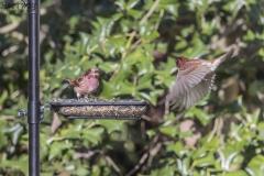 Purple Finches
