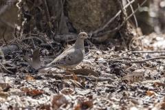 Mourning Dove - Bond Swamp