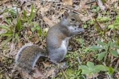 Bonue Squirrel