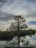 An Old Cypress Tree