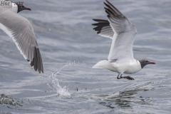 Laughing Gulls