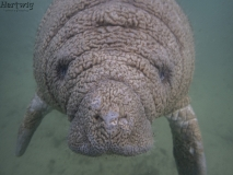What Happens When a Manatee & Brain Coral Mate