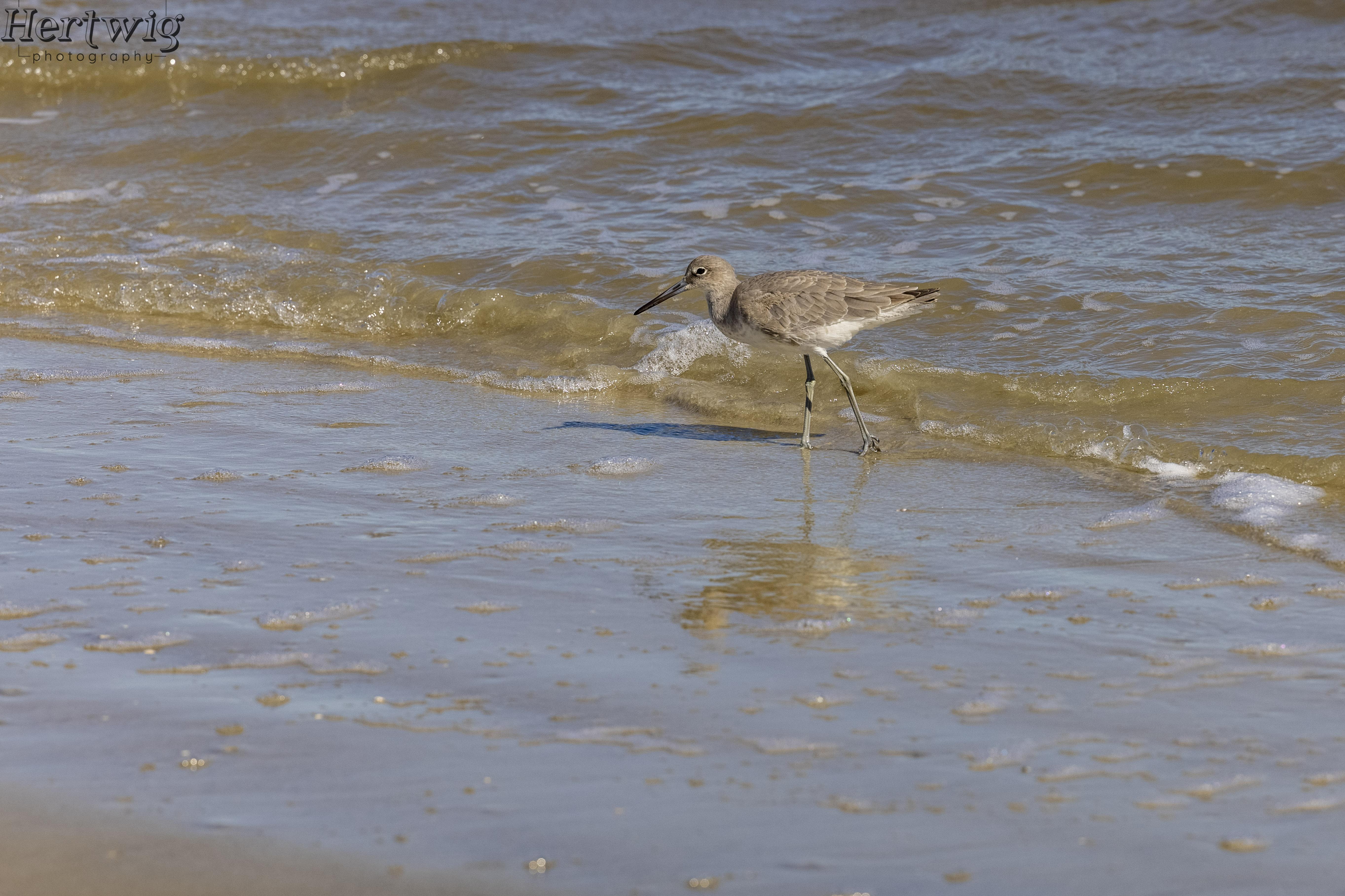 Beach Bird, Jekyll Island