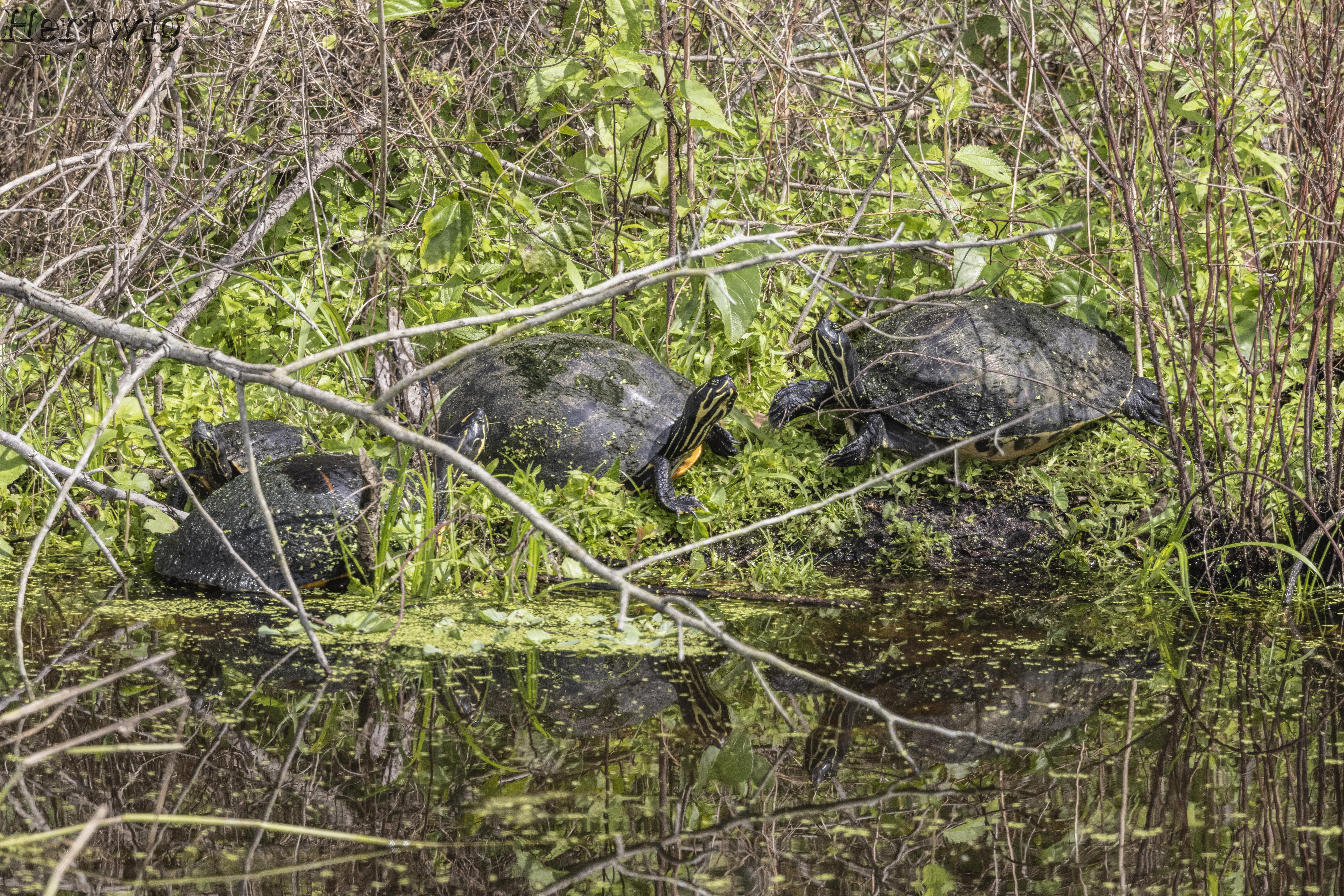 Turtles on The Bank