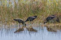 Glossy Ibis Among the Reeds