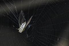 Cicada In a Spider Web